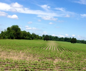 I thought this field was planted in peanuts, a standard crop for the area, but it is more likely to be soybeans; on the Surry side of the river.