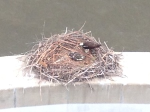 Two osprey chicks in their nest beneath the Chickahominy River Bridge.