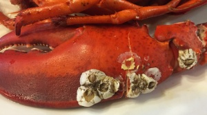 Who knew that barnacles would grow on lobster claws? Not I.