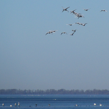 Tundra swans (primarily) overnighted on Phelps Lake.