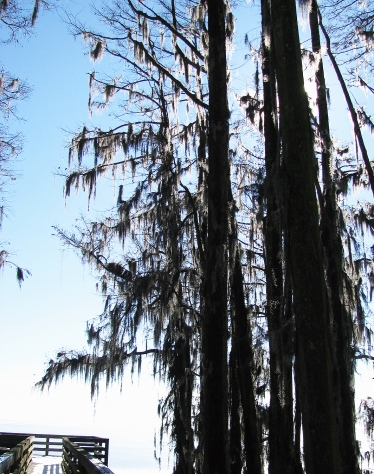 Ice on the Spanish moss dangling from the cypress trees @ Moccasin Point.