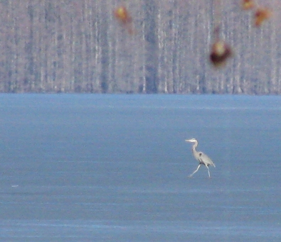 Great blue heron dancing on the ice.