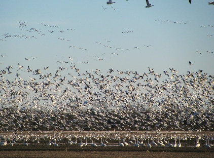 Billions of birds!