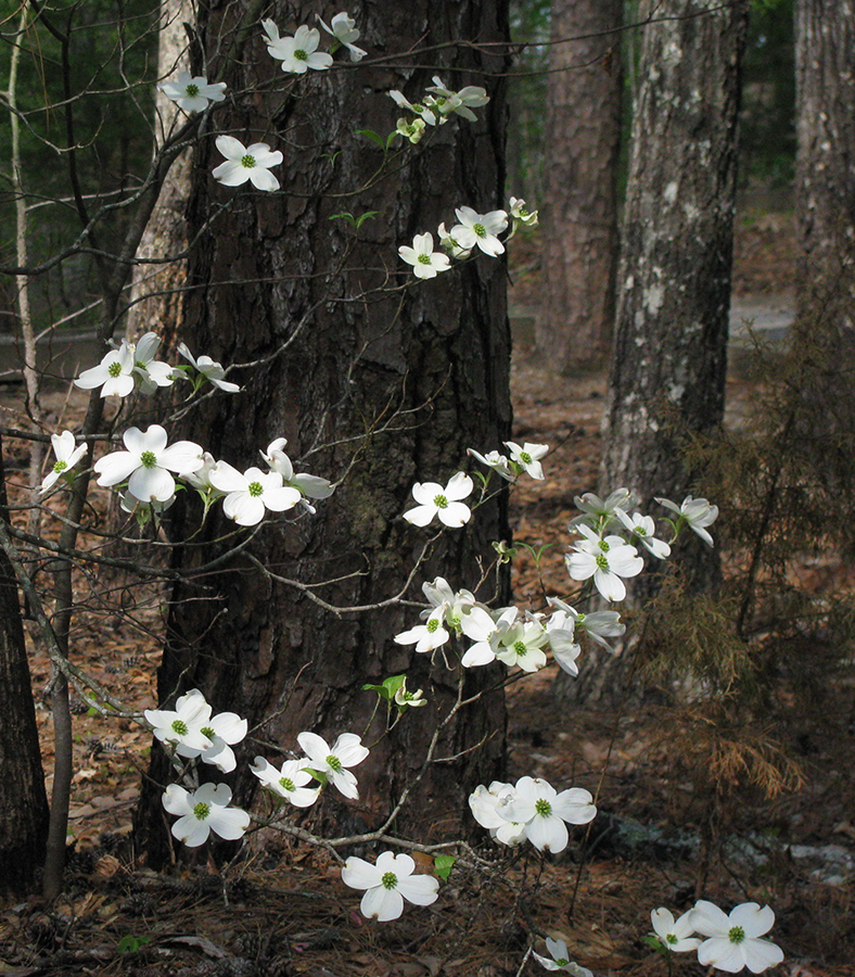 1095-NorthBendDogwood