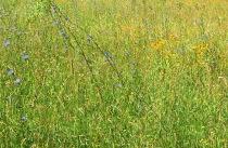 CornflowersSusans2513