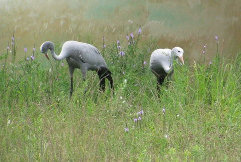 These Blue Cranes were standing near a painted wall and resembled statues, but they are definitely alive.