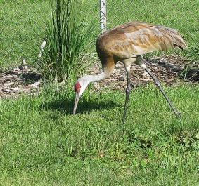 Crane1782