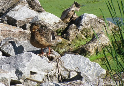 Duck1791