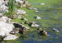 Ducks1787