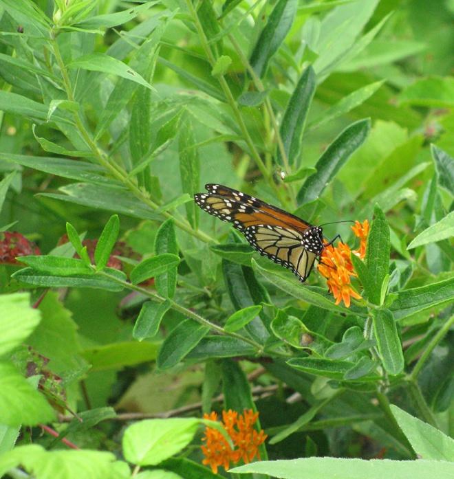 Monarch2164
