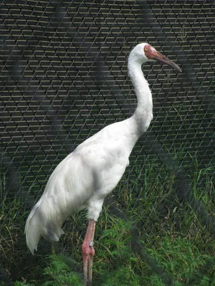 Siberian crane (looks a bit like a vulture).
