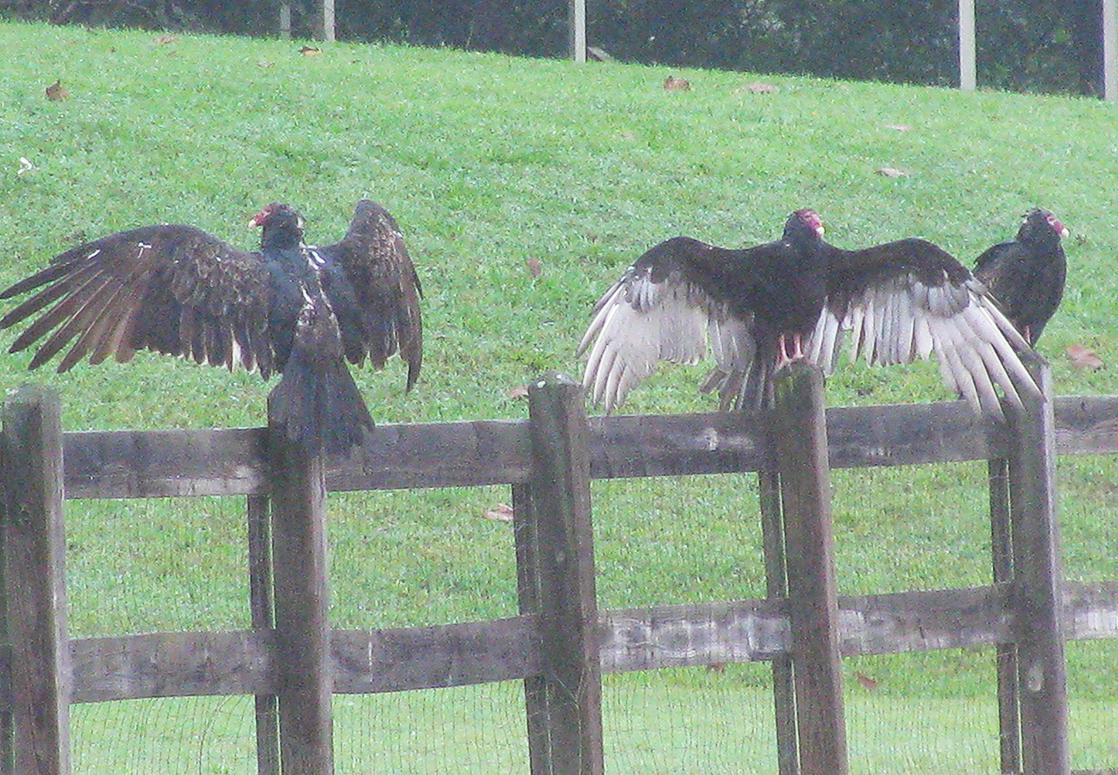 Vultures2232