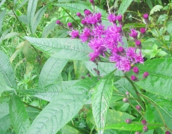 Ironweed2439