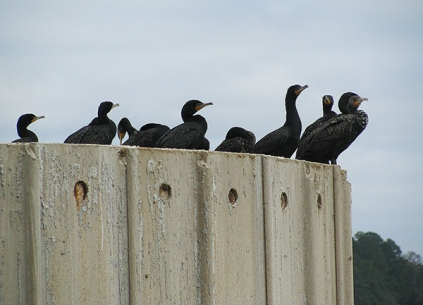Cormorants2628Web
