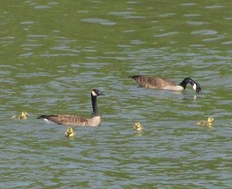 Geese4Goslings2737Web