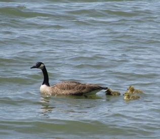 Goose3Goslings2744Web