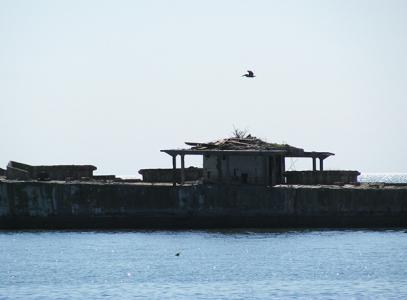 Pelican flies over an osprey nest on a cement ship