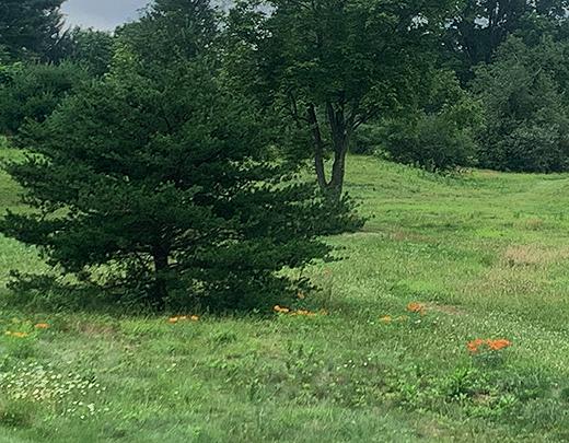 Butterflyweed1086Web